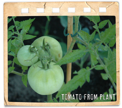04_22_tomato_from_plant