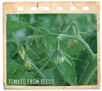 04_22_tomato_from_seeds